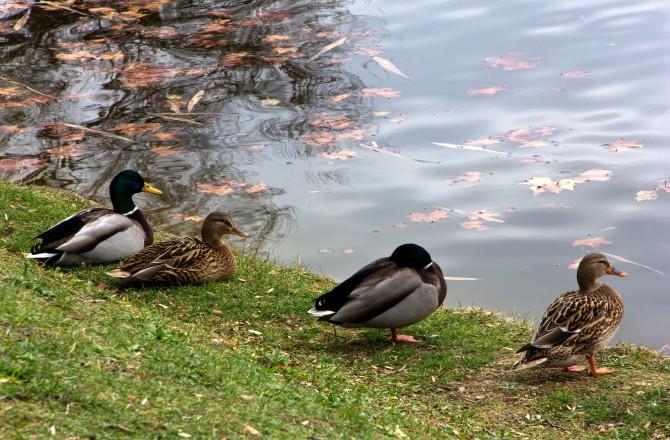 Leopoldinenteich mit Enten im Schlosspark Eisenstadt