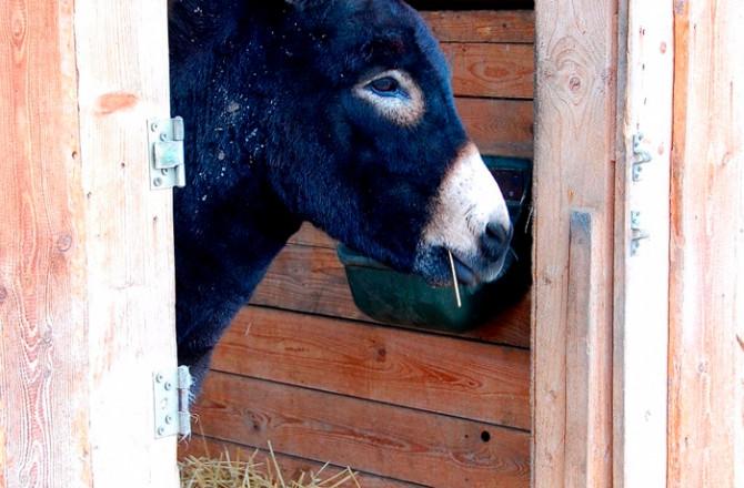 Schwarzer Esel (bei Rust am See) lugt aus seinem Stall