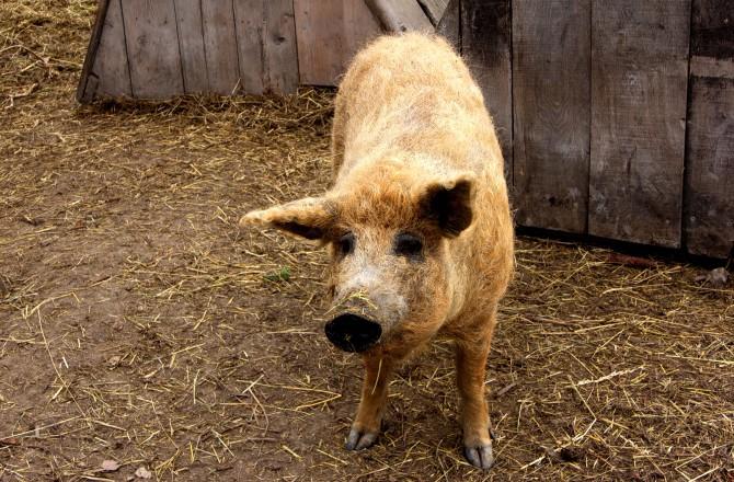 Rötliches Mangalica-Schwein bei Rust am See