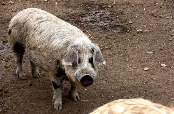 Weißes junges Mangalica-Schwein bei Rust am See