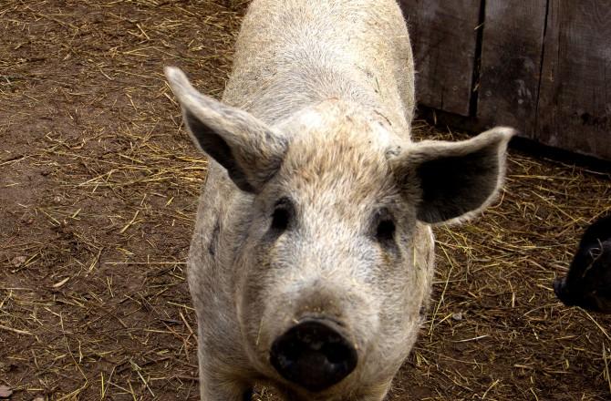 Weißes Mangalica-Schwein bei Rust am See
