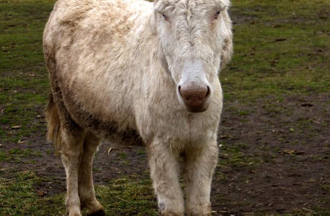 Ein weißer Esel bei Rust am See