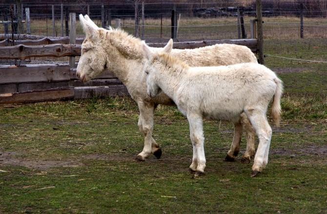 2 weiße Esel bei Rust am See