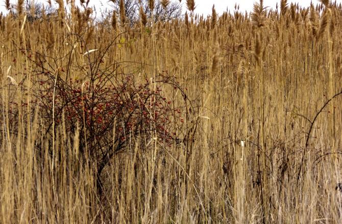Winterkirschen - zwischen Rust und Mörbisch am See (Foto: Traude Triebel)