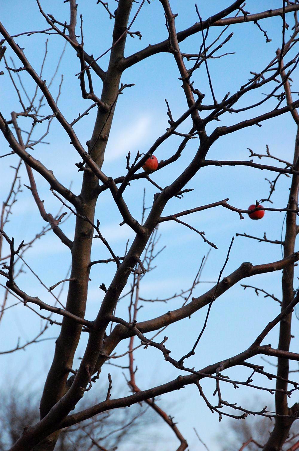 Baum mit 2 Äpfel im 'verschwundenen Dorf' bei St. Georgen nahe Eisenstadt (Foto: Traude Triebel)