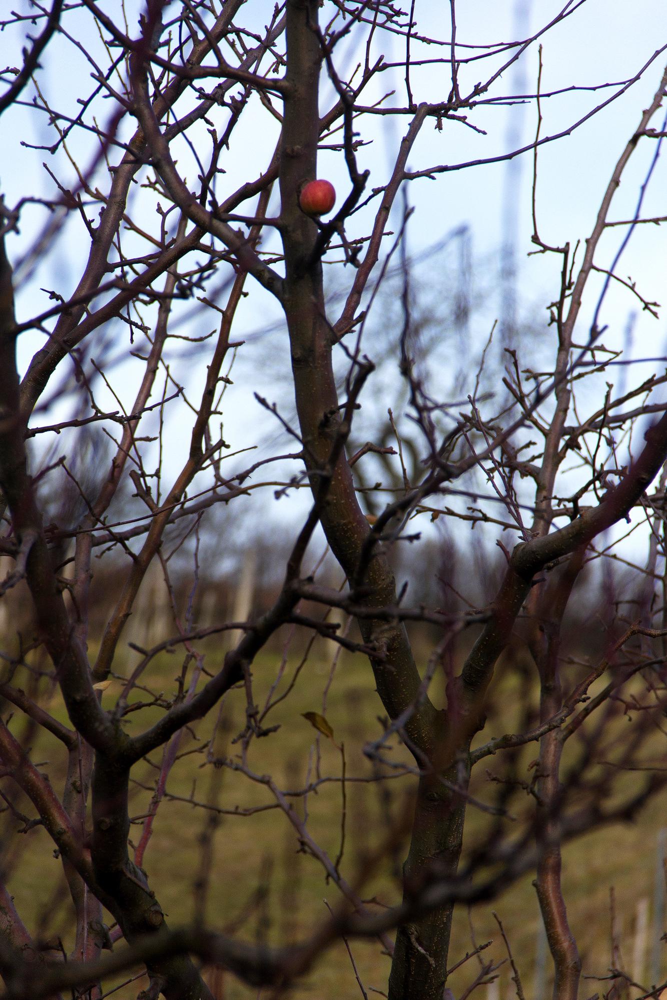 Baum mit Apfel im 'verschwundenen Dorf' bei St. Georgen nahe Eisenstadt