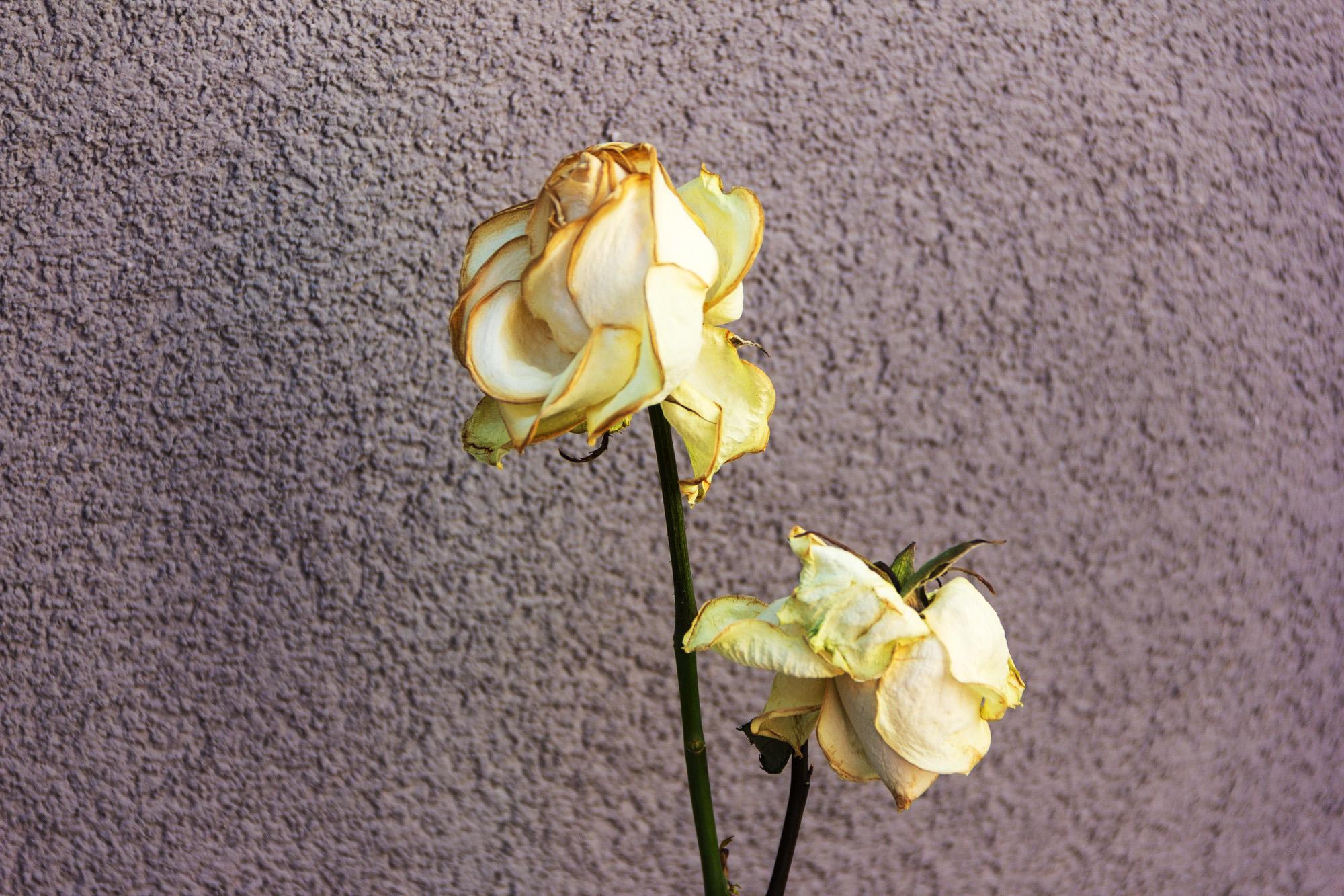 welke cremfarbige Rosen