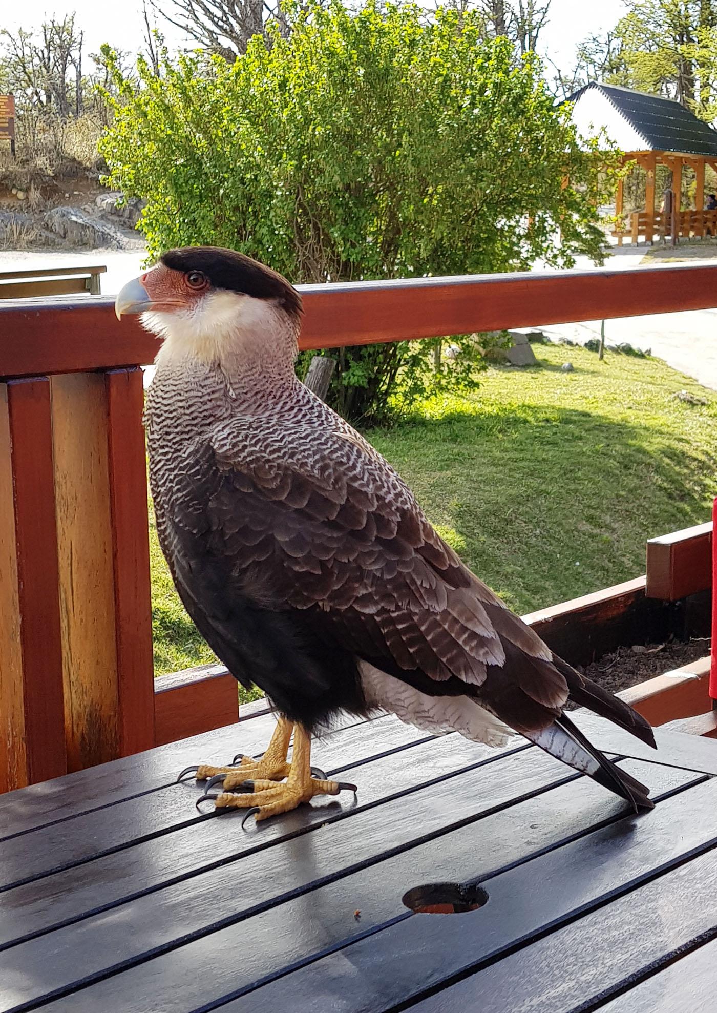 Ein Schopfkarakara auf der Terrasse des Restaurants