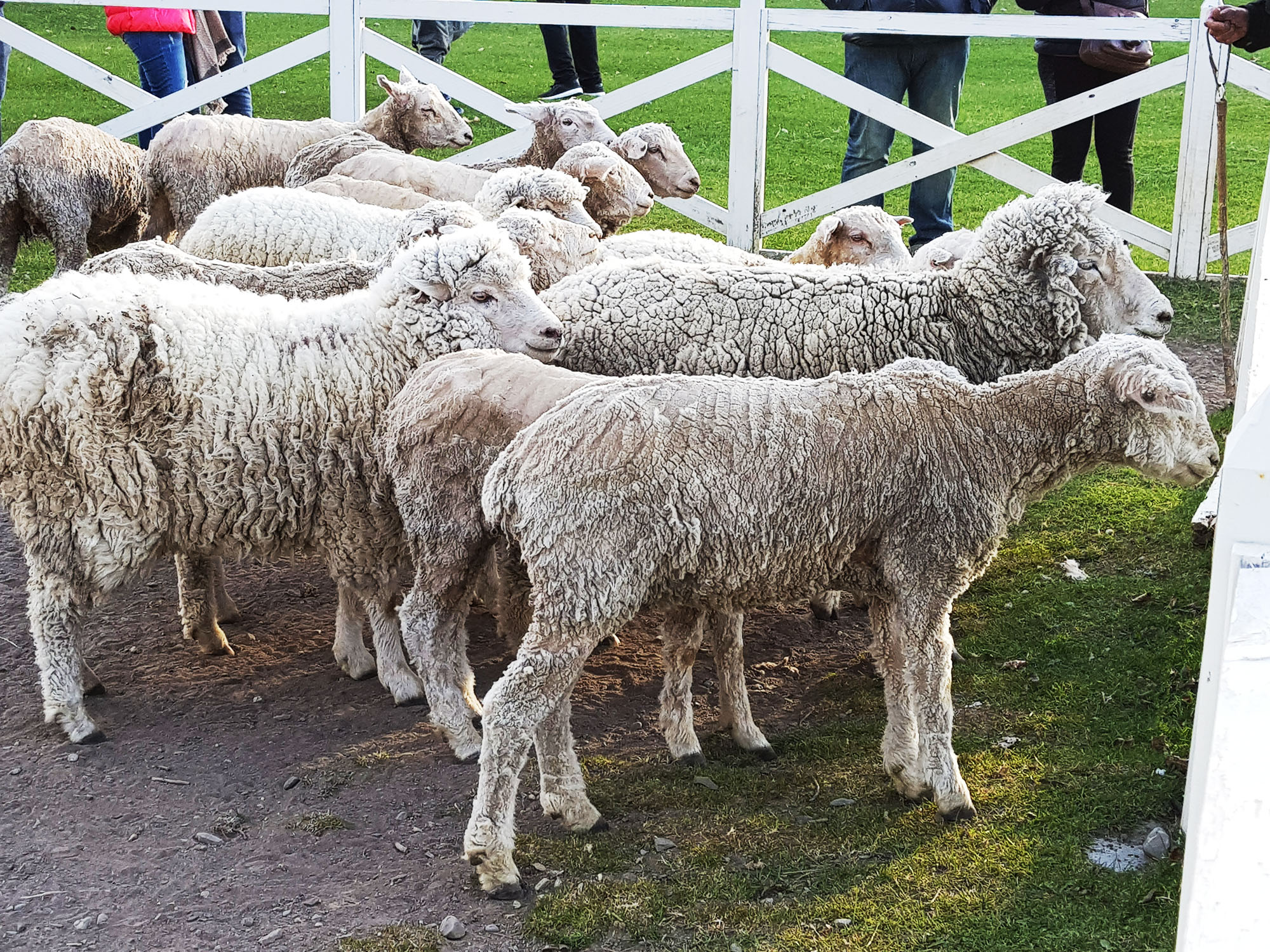 Schafe - über viele Jahrzehnte ein Haupterwerbszweig im Süden Chiles und Argentiniens