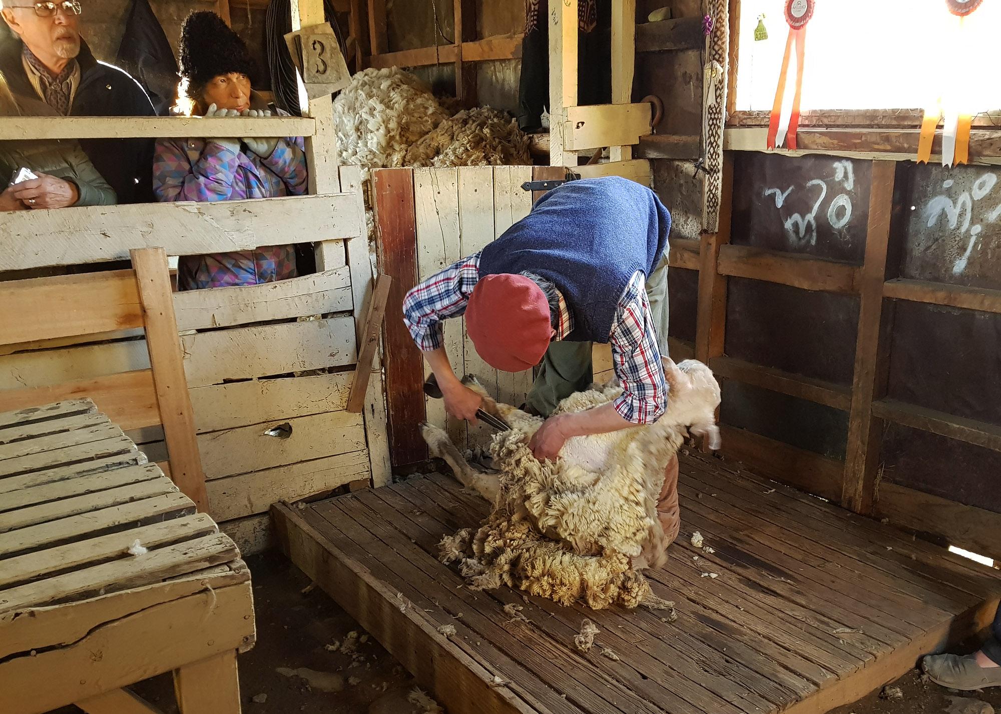 Demonstration einer Schafschur