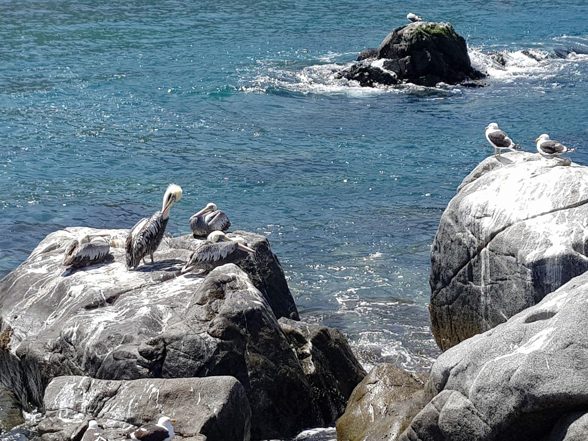Pelikane in der Bucht von Zapallar